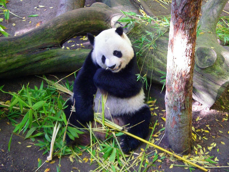 panda eating shoots and leaves